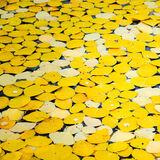 aspen, colorado, fall, leaves, rocky mountains, san juan mountains, square, tree, yellow
