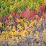 aspen, colorado, fall, green, red, rocky mountains, san juan mountains, square, tree, yellow