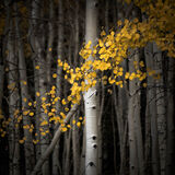aspen, colorado, crested butte, fall, leaves, rocky mountains, square, tree, yellow