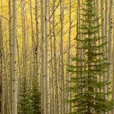 aspen, colorado, fall, green, pine, rocky mountains, san juan mountains, square, tree, yellow