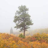 colorado, fall, fog, gambel oak, green, orange, pine, red, rocky mountains, san juan mountains, scrub oak, square, tree, white...