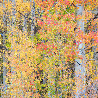 aspen, colorado, fall, green, leaves, red, rocky mountains, san juan mountains, square, tree, yellow