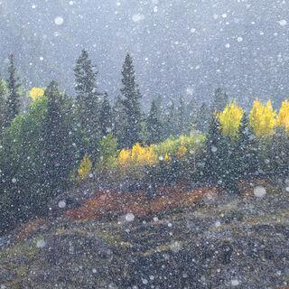 aspen, colorado, fall, gambel oak, green, rocky mountains, san juan mountains, scrub oak, snow, square, tree, yellow
