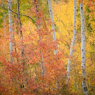 aspen, colorado, fall, leaves, orange, red, rocky mountains, san juan mountains, square, tree, yellow