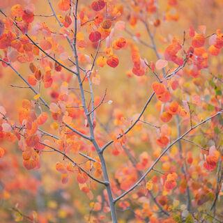 aspen, colorado, fall, leaves, red, rocky mountains, san juan mountains, square, tree