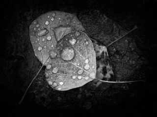 Environment, Nature, Rain, Weather, black and white, droplets, leaves