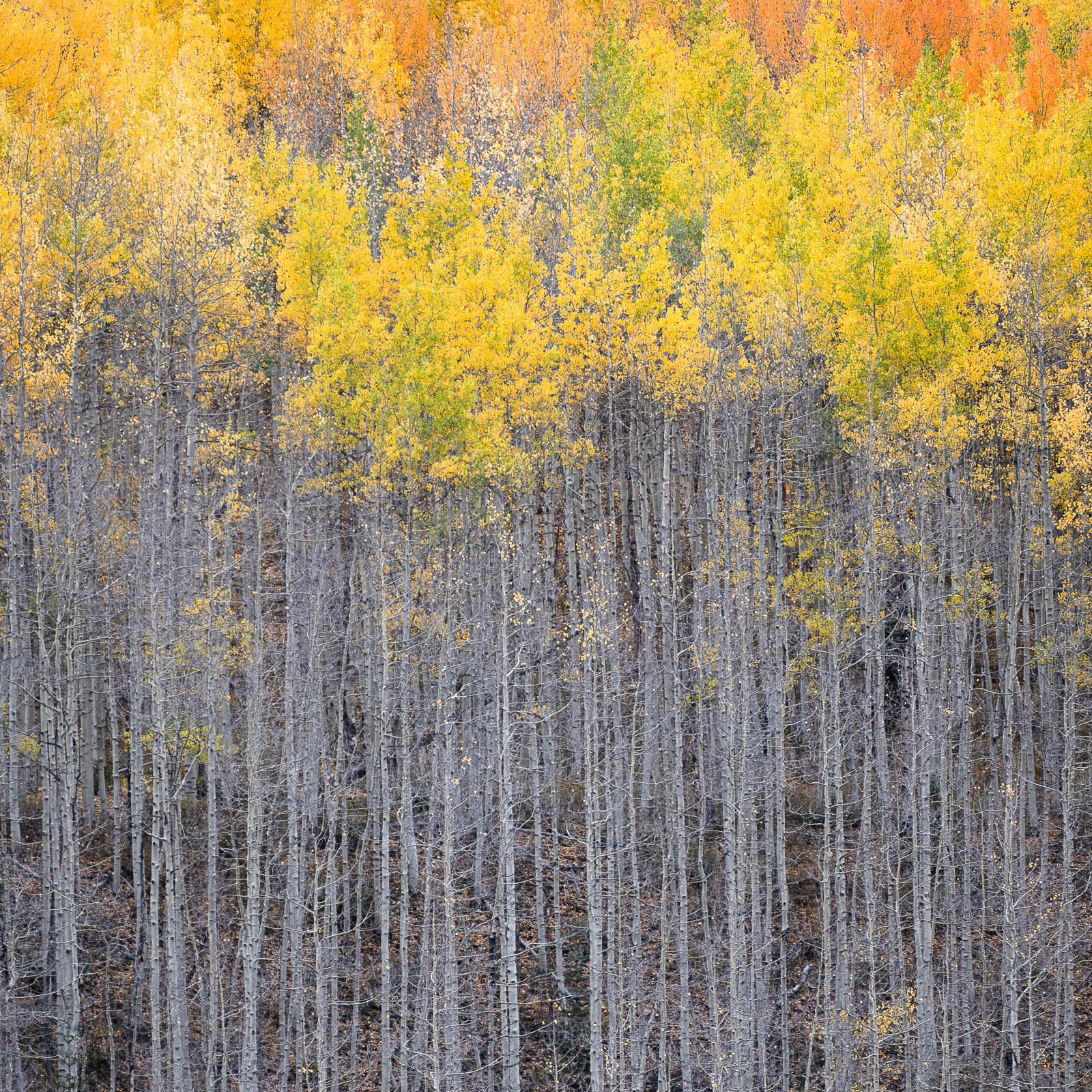 aspen, colorado, fall, red, rocky mountains, san juan mountains, square, tree, yellow