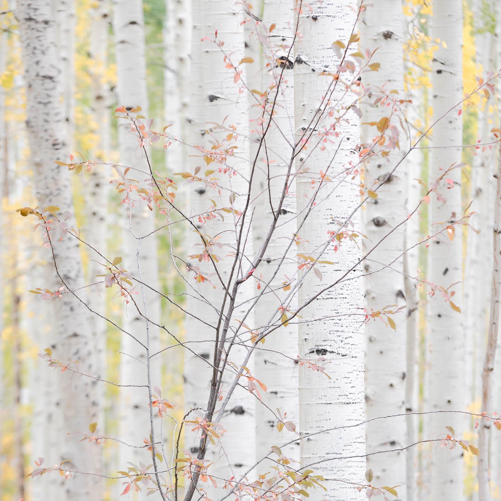 colorado, fall, leaves, red, rocky mountains, san juan mountains, square, white, yellow